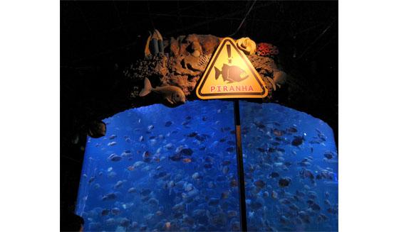 Piranha Seaworld Ancol